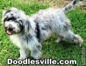 Doodlesville Aussiedoodles and Goldendoodles